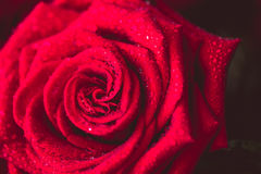 Beautiful red rose macro shot close up. Valentines Day Stock Image