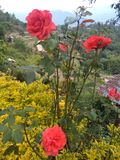 Beautiful red rose on the mountain region of Chizami Village royalty free stock photography