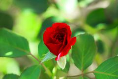 Beautiful red rose in my mother`s garden, Serbia stock photo