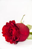 Beautiful red rose over white background Royalty Free Stock Photography