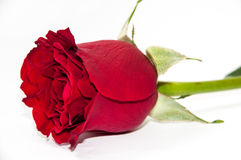 Beautiful red rose over white background Stock Photos