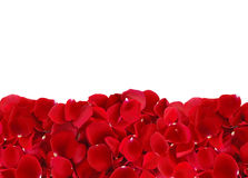 Beautiful red rose petals isolated on white Royalty Free Stock Photo