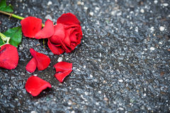 Beautiful red rose with pettals and green leaves on the ground. Beautiful red rose with green leaves left on the ground stock image