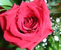 Beautiful red rose Stock Photos