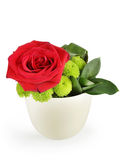 Beautiful red rose in a pot Royalty Free Stock Photo