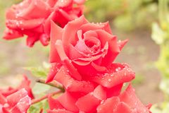 Beautiful red rose after the rain. Close up. Conceptual design f. Or greeting card Royalty Free Stock Photography