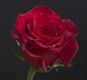 Beautiful red rose with rain drops close-up Stock Photos
