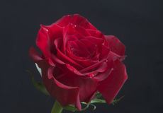 Beautiful red rose with rain drops close-up Stock Photography