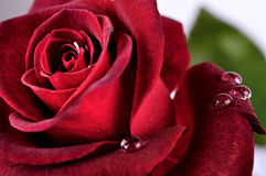 Beautiful red rose with rain drops, macro Stock Photo