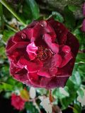 Beautiful Red Rose at Rans Farm Stock Photo