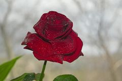 Beautiful red rose Stock Photography