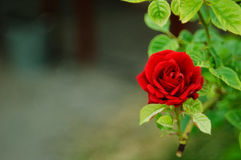 Beautiful red rose. royalty free stock image