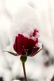 Beautiful red rose in snow, macro image, vertical background. Beautiful red rose in snow, macro image, nature floral vertical background Royalty Free Stock Photography