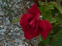 The beautiful red rose royalty free stock photo