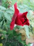 Beautiful red rose in the spring garden. Splendid and romantic flower Stock Photo