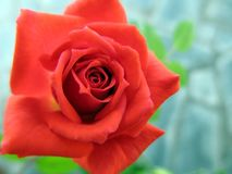 Beautiful red rose in the spring garden. Splendid and romantic flower Royalty Free Stock Images