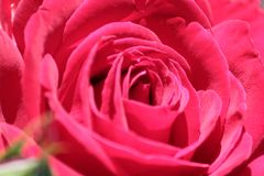 Beautiful red rose in the spring garden and tender rose petals Royalty Free Stock Photography