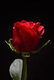 Beautiful red rose with strong contrast on black background. Dra Royalty Free Stock Photography