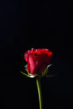 Beautiful red rose with strong contrast on black background. Dra Stock Image