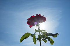 Beautiful red rose in the sunlight. Royalty Free Stock Images