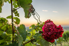 Beautiful red rose at sunset Royalty Free Stock Photo