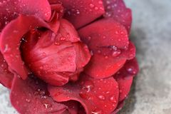 Beautiful red rose rose in the sunshine stock photos