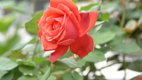 Beautiful red rose sway in wind, full blossom, close up view, slow motion movie stock footage