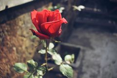 Beautiful red rose. stock photo