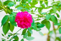 Beautiful red rose on tree in the garden select focus with shallow depth and blurry background.  Royalty Free Stock Photo