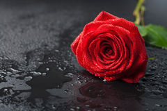 Beautiful red rose with water droplets Stock Photos