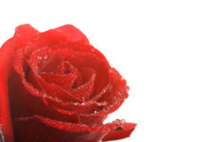Beautiful red rose with water droplets isolated Royalty Free Stock Photo