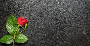Beautiful red rose with water droplets over black background. Top view with copy space on right side royalty free stock photo