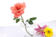 Beautiful red rose  with water drops Stock Images