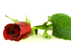 Beautiful red rose with a water drops Royalty Free Stock Photo