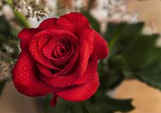 Beautiful red rose with water drops and copy space stock image