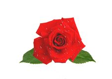 Beautiful red rose in water drops isolated on white. Background Royalty Free Stock Photography