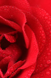 Beautiful Red Rose with Water Drops Macro Royalty Free Stock Photography