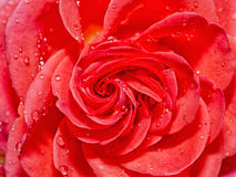 Beautiful Red Rose with Water Drops after Rain Stock Image