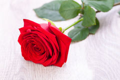 Beautiful red rose on white bachground Royalty Free Stock Image