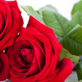 Beautiful red rose on white bachground isolated Stock Photos