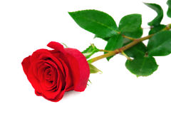 Beautiful red rose on white background Royalty Free Stock Photos