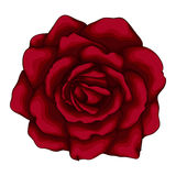 Beautiful red rose  on white background. Stock Image