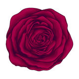 Beautiful red rose  on white background. Royalty Free Stock Photo
