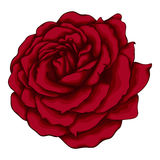 Beautiful red rose  on white background. Stock Photo