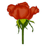 Beautiful red rose  on white background. Royalty Free Stock Images