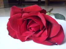 Beautiful Red Rose with White Background. Red Rose image with White background many uses for printing, wallpaper, greetings, letter head etc royalty free stock photos
