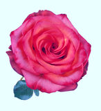 Beautiful red rose on white background Stock Images