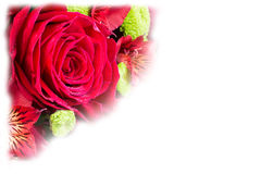 Beautiful red rose on the white background with Stock Photography