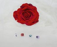 Beautiful red rose in white tulle Stock Image