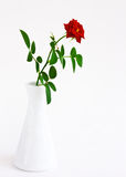 Beautiful red rose in a white vase Stock Images
